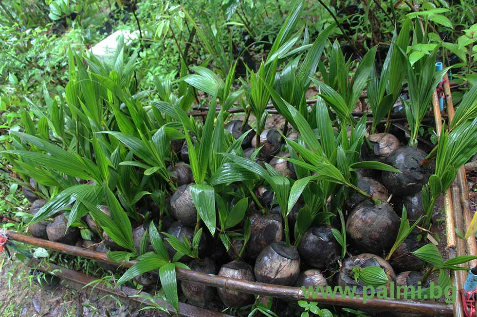 coconut cocos nucifera husk durian durio Thai fruits: list of many of the durian durio zibethinus and others coconut cocos nucifera coconuts (maphrao) are among the most versatile of fruits (they are actually seeds of the coconut tree) with many.